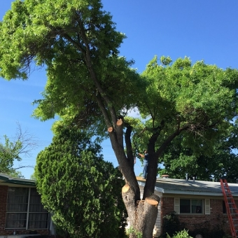 Tree to be removed